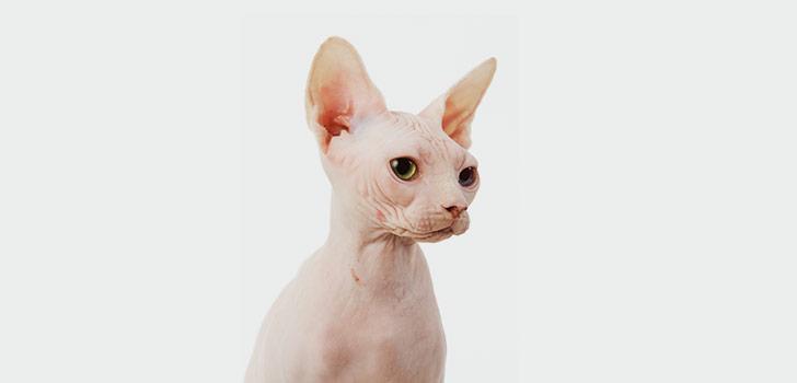 содержание котенка сфинкса