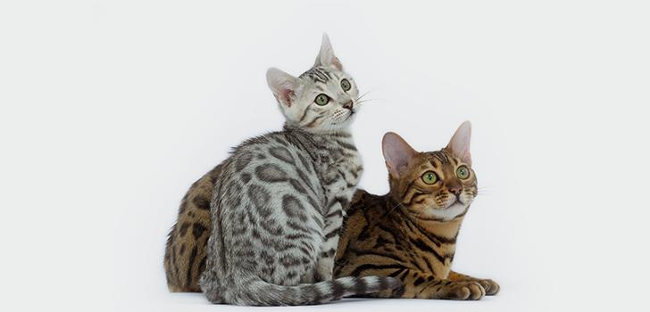о бенгальских кошках
