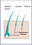 Цикл развития волоса