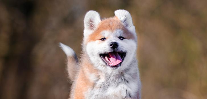фотографию собаки акита ину