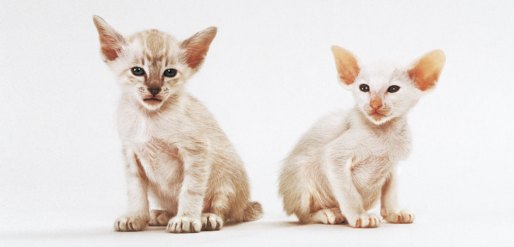728х350 Siamese-Images-Photos-Animal-000050_1.0.jpg