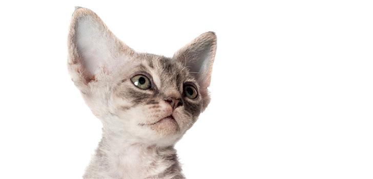 В каком возрасте покупать котенка?
