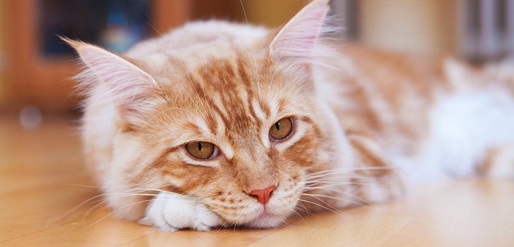when to spay a maine coon kitten