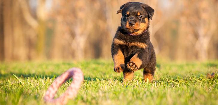 собака породы ротвейлер фото