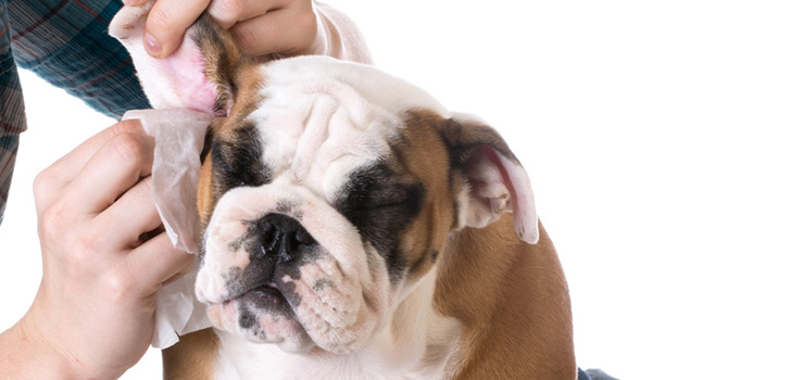 Чем чистить уши у собак в домашних условиях