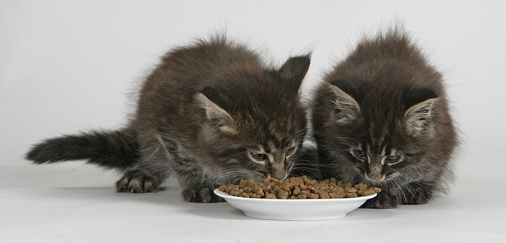 Как правильно и сколько кормить кота