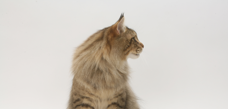Maine-Coon_728.png