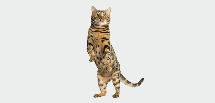 Кот признаки половое созревание