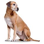 Cтарениt собак