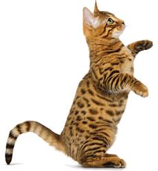 Стерилизованный котенок