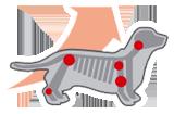 Поддержка суставов щенка таксы