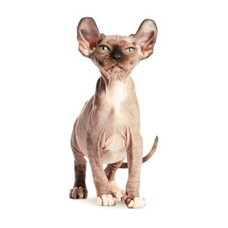 Кошка-эльф характеристики породы и особенности ухода