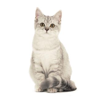 Шотландский кот - характеристика породы