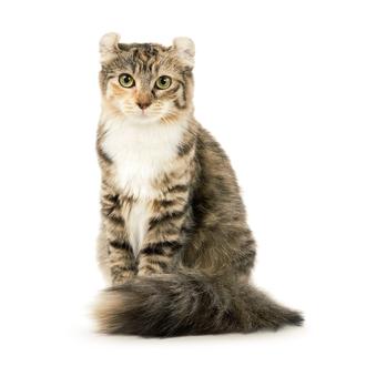 Американский керл душа кошачьей компании