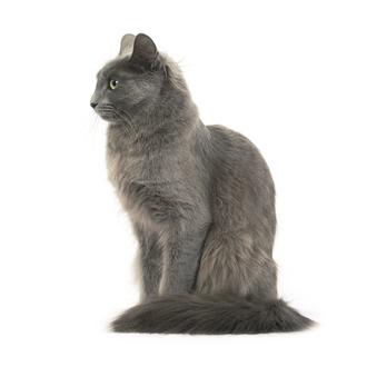 Нибелунг порода кошек фото