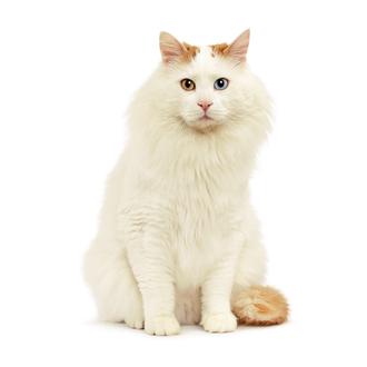 Турецкий ван – фото кошки, описание особенностей породы и характеристика турецкой ванской кошки